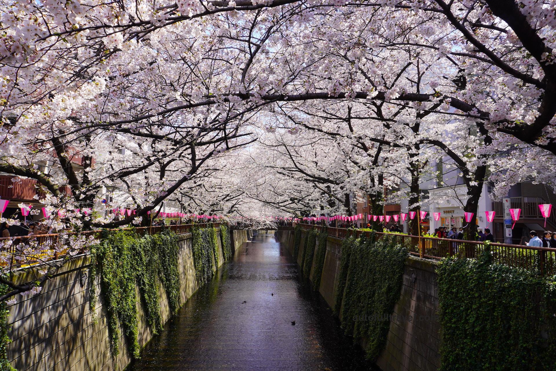 สองฝั่งแม่น้ำ เมกูโระ ชมซากุระกว่า 800 ต้น แหล่งท่องเที่ยวสุดฮิต ชานกรุงโตเกียว